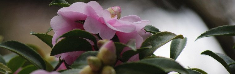 Camellia Oil 100%, a Favorite of Japanese Women. It Moisturizes and Revitalizes Your Skin!