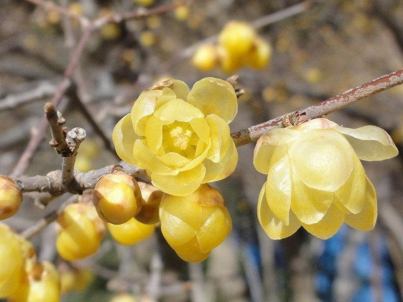 Small yellow wintersweets were blooming