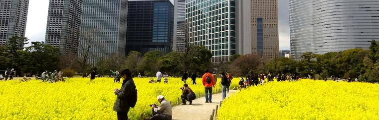 A Field of Rape Blossoms in Central Tokyo! Hamarikyu Gardens in March