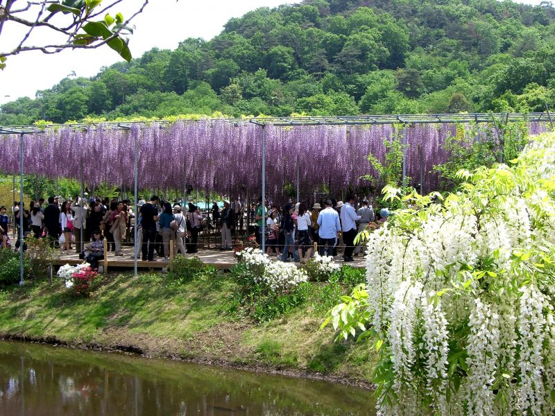 """A large natural curtain with wisteria in purple and white. """"Ashikaga ..."""
