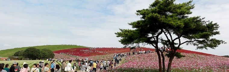 It takes 120 minutes from Tokyo! Let's go to the Hitachi Seaside Park and viewing blooming 32,000 of flowers!