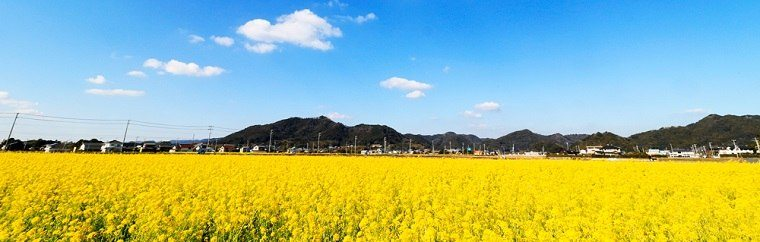 Every year, the large numbers of people that visit this area are surprised at how many flowers are blooming as early as January! The flowers look like they could be a solid carpet of yellow! Visiting Kamogawa in the early spring to see it covered in rape flowers, and even enjoying picking them, is great fun!