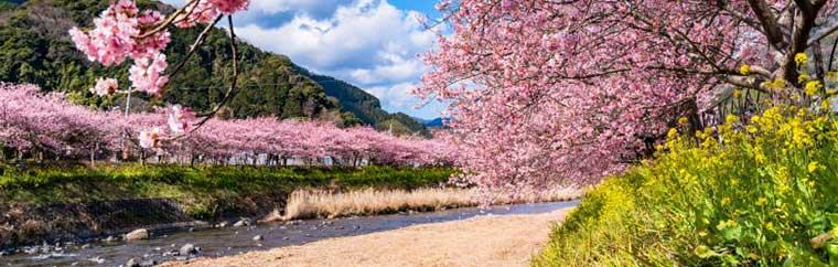 Kawazu cherry trees are a type of cherry tree found in Shizuoka Prefecture's Kawazu. Every year, they bloom for about a month from early February to early March. Go See the Early-Blooming Kawazu Cherry Blossoms!
