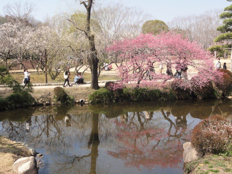 Gazing at the beautiful reflection of the plum blossoms on the water