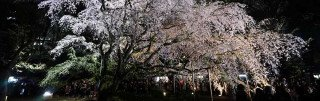 Tokyo's Rikugi-en – Illumination of Weeping Cherry Blossoms and Daimyo Teien