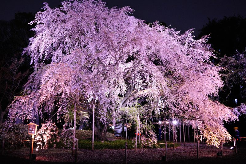 Illumination, Weeping Cherry Blossoms