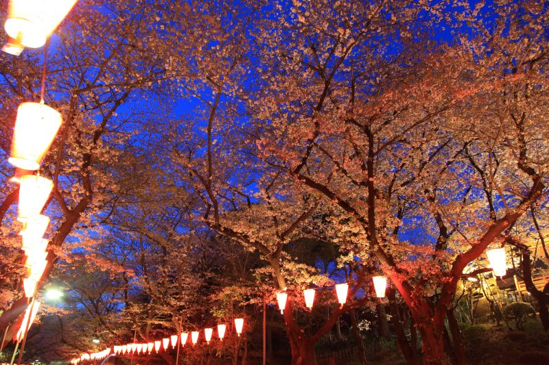 Cherry blossoms lit up at night