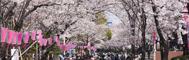 Every spring, gaggles of residents and tourists alike flock to Ueno Park to admire the beauty that is the cherry blossom. With over 1,200 cherry trees, Ueno Park prides itself as being one of Tokyo's most popular spots for hanami, or cherry blossom viewing.