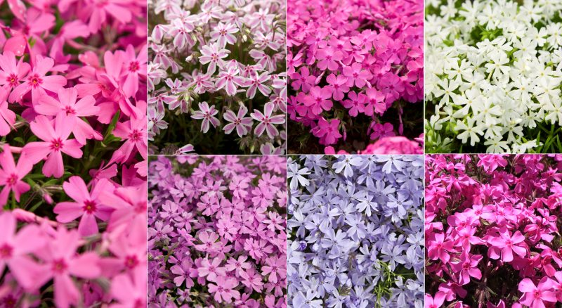 Moss Phlox In A Variety Of Colors