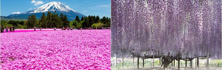 Moss phlox and wisteria flowers. Introducing famous spots in Japan with other flowers besides cherry blossoms. Don't forget to use a great-value JR pass for traveling!