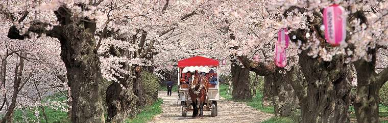 Blossoming together in full glory, heralding spring to snow-covered Tohoku,Tohoku's beautiful cherry trees, burst with life's energy.