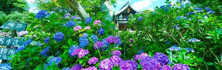 "Hondo-ji Temple, in Chiba Prefecture's Matsudo City, is a temple of the Nichiren sect of Buddhism that was built in 1277. Every year in June, around 50,000 hydrangeas of over 10 varieties beautifully bloom. Because of this, the temple is also known as the ""hydrangea temple."" It is easily accessible, with Kita-Kogane Station, the station nearest to the temple, being only 50 minutes by train from Tokyo Station. However, it truly is a well-kept-secret place, and you can be sure that you'll be able to leisurely enjoy the flowers without worrying about crowds!"