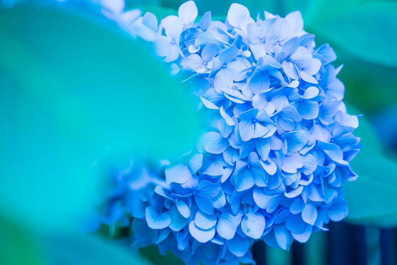 Hakusan Shrine's hydrangeas