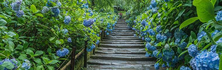Japan's rainy season may be coming up, but there's still plenty to look forward to! While June is generally wet and muggy, it's also when varying colours of hydrangea begin to bloom beautifully all over Kanto. If you're looking to see the flowers in all their glory, we suggest heading to the history-rich city of Kamakura, which was once the capital of Japan.