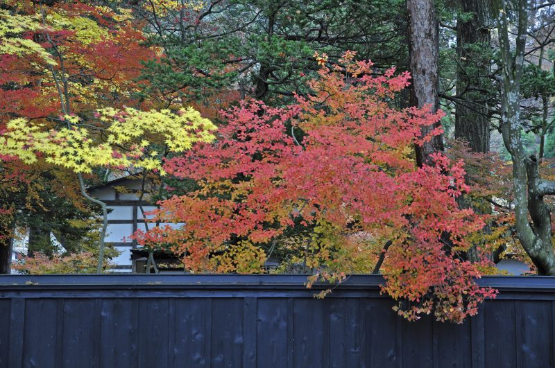 Black-painted batten fences and fall foliage