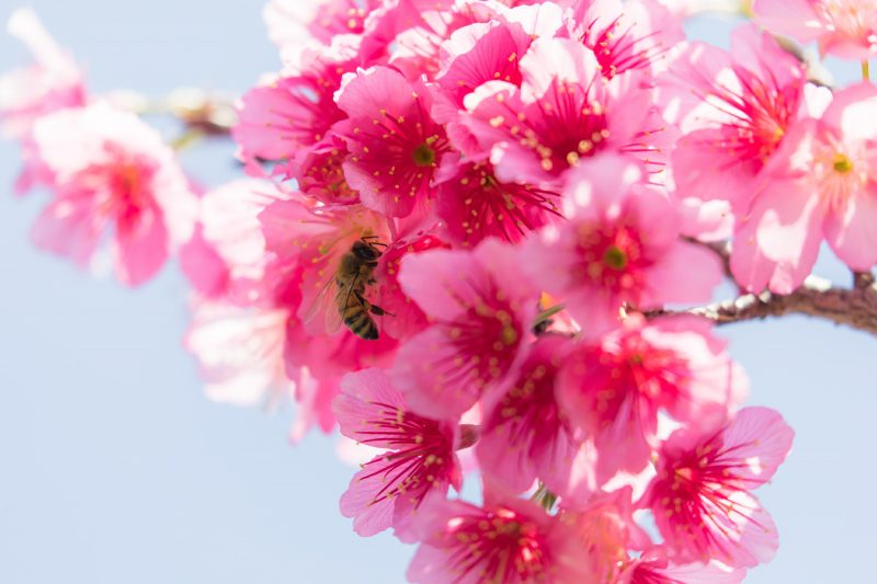 Winter Cherry Blossoms, Viewable in Okinawa