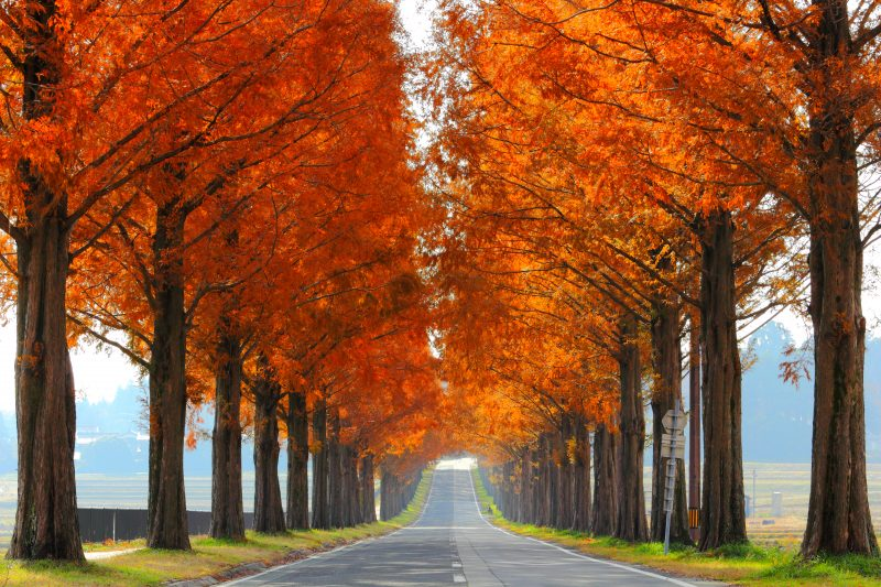 Dawn Redwood Avenue in fall