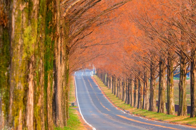 2.5 km long Dawn Redwood Avenue, a magnificent scene of fall foliage