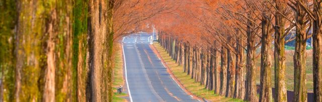 Makino Dawn Redwood Avenue, a Low-Profile Fall Foliage Viewing Spot in Shiga Prefecture