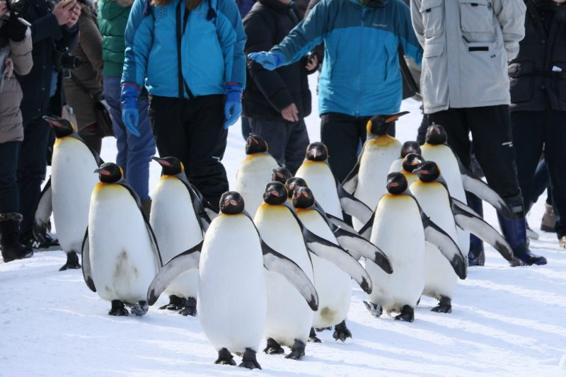 "At the Asahiyama Zoo in the winter, the ""Penguin Walk"" is a must-see!"