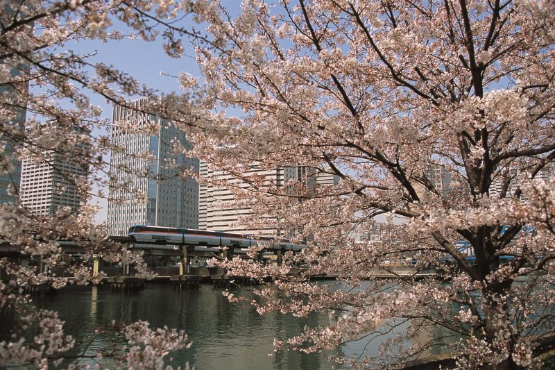 You can see beautiful cherry blossoms during the springtime.