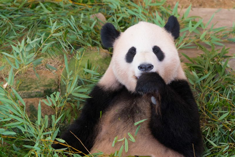 Why not go and see this cute Giant Panda?