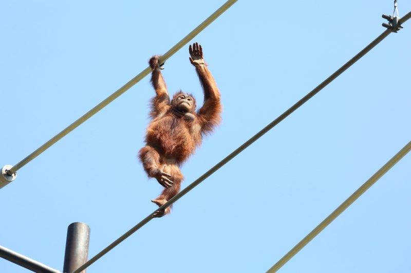 The Orangutan Sky Walk is popular!