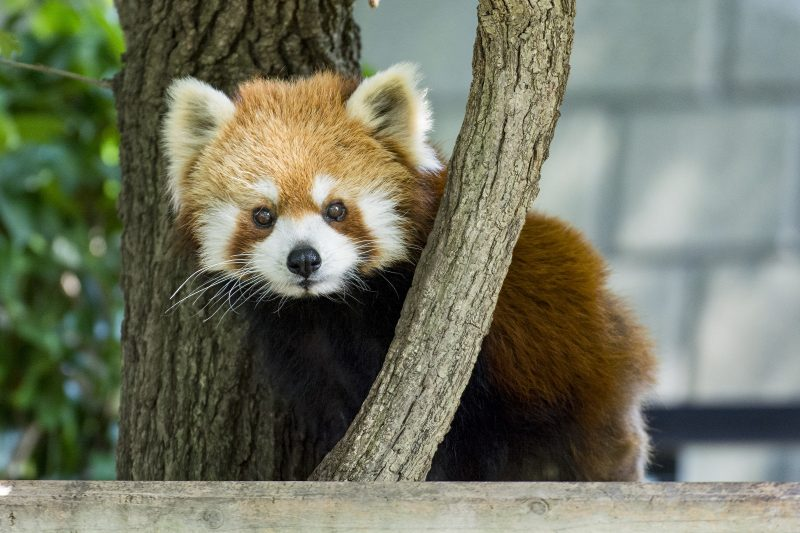 The adorable Lesser Panda is very popular!