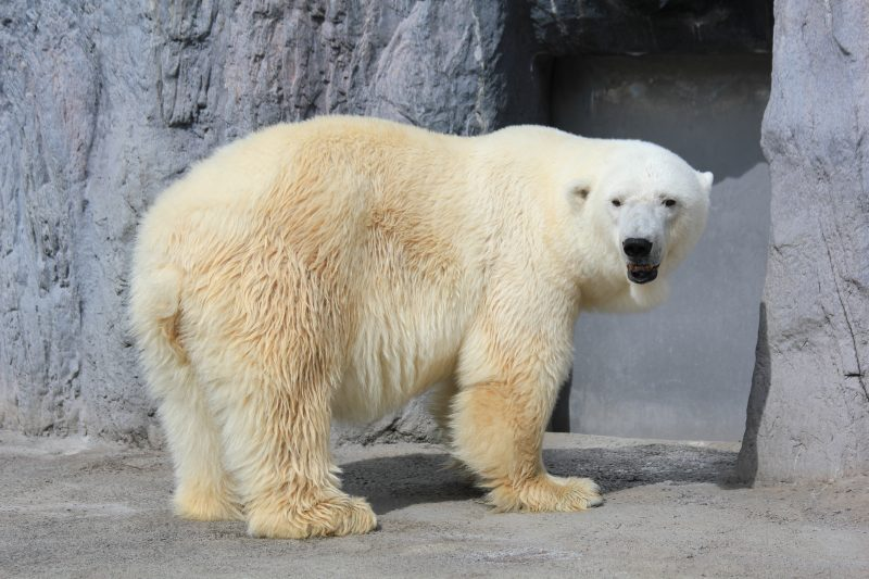 You can watch polar bears up close through only a panel of glass at Asahiyama Zoo