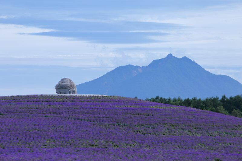 In July, 150,000 lavender plants bloom across the hill!