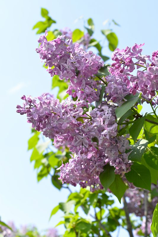 Around 400 lilac trees go into full bloom in Odori Park