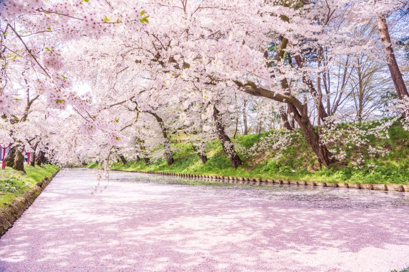 See the beautiful cherry blossoms in Tohoku! (Image: Hirosaki Park)