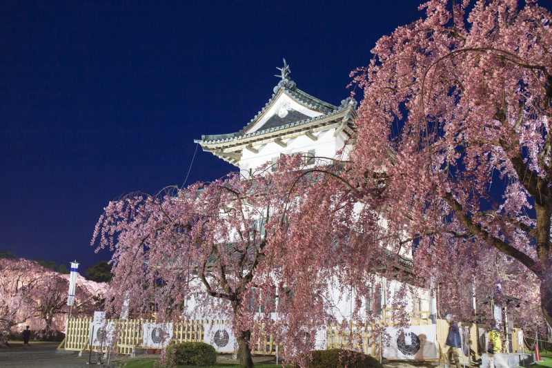Hirosaki Castle and cherry blossoms (during stone wall restoration)