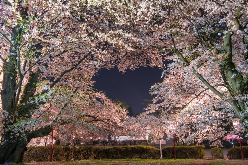 A heart-shaped gap in the cherry blossoms! Try finding this secret spot for yourself.