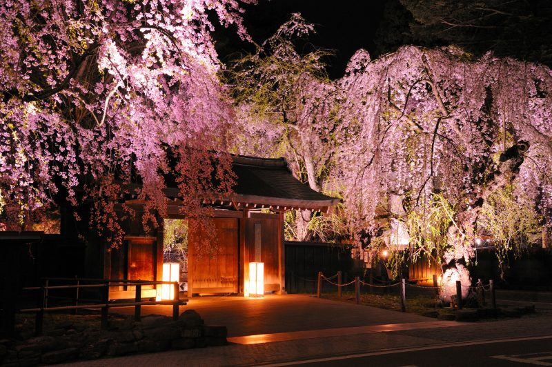 Illuminated weeping cherry trees