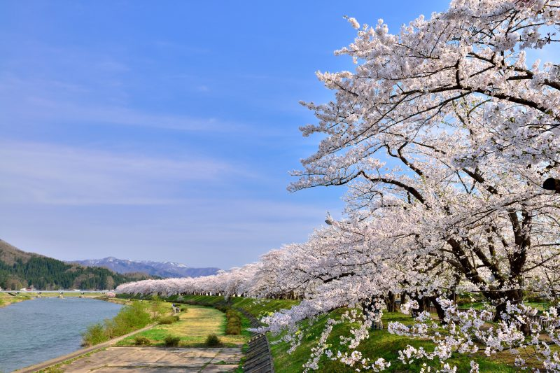 Beautiful view from Hinokinai River of snowy mountains and rows of cherry trees