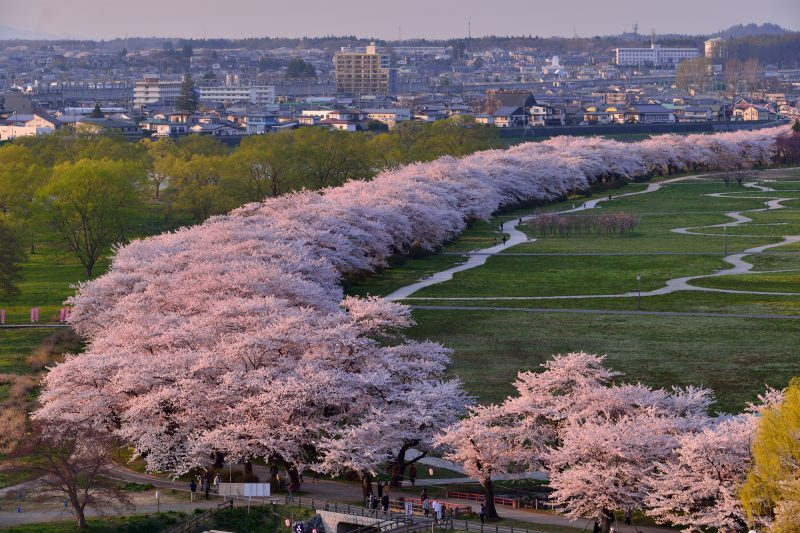 Cherry trees seen from Jingaoka