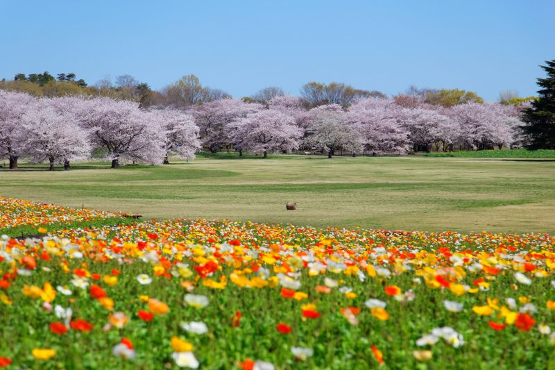 Poppies and cherry blossoms in full bloom at Showa Kinen Park