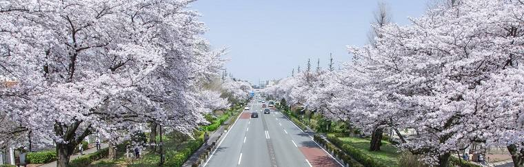Introducing a Lovely Well-Kept-Secret of a Cherry Blossom Viewing Location in Tokyo! Upload Photos to Social Media in Real Time!