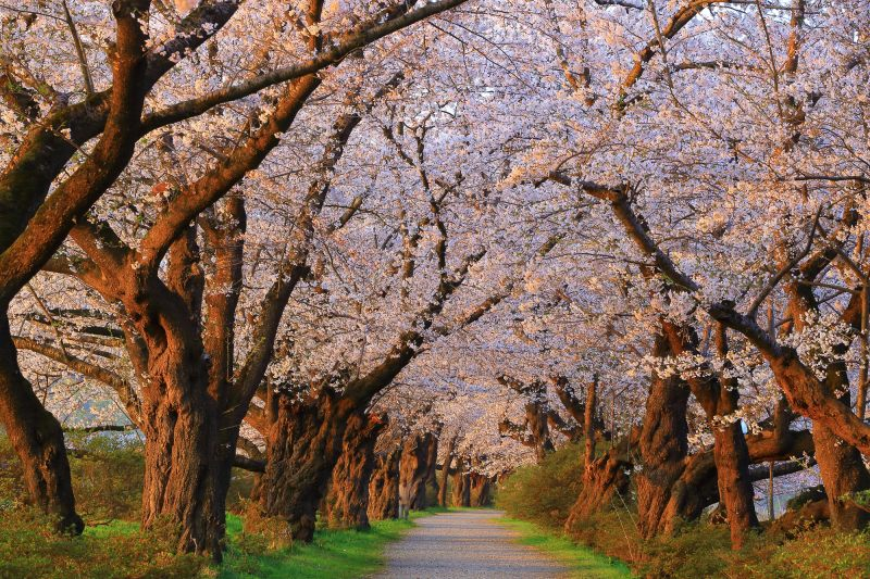Cherry blossom tunnel in full bloom
