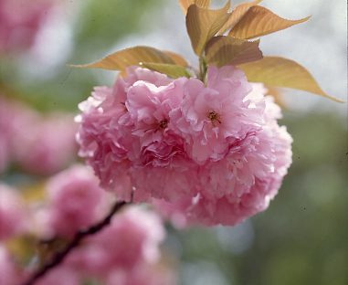 See the double cherry blossoms in bloom across the sandy beach
