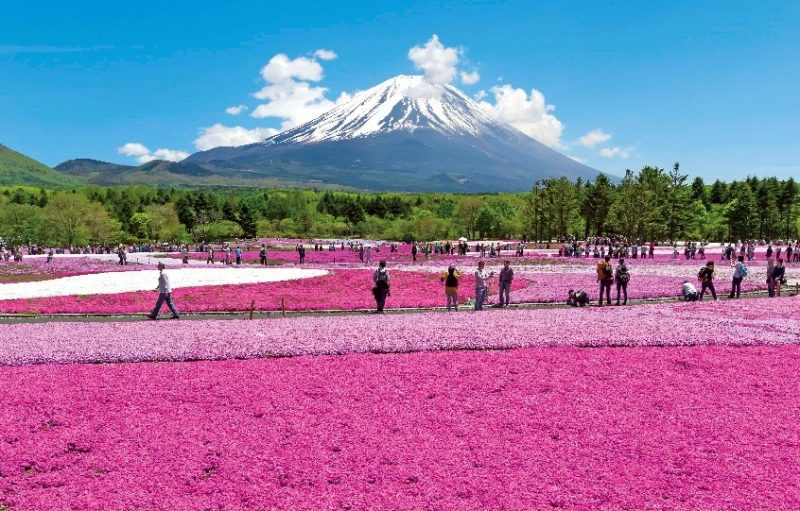800,000 shiba-sakura, the most in the Kanto region, bloom beautifully here