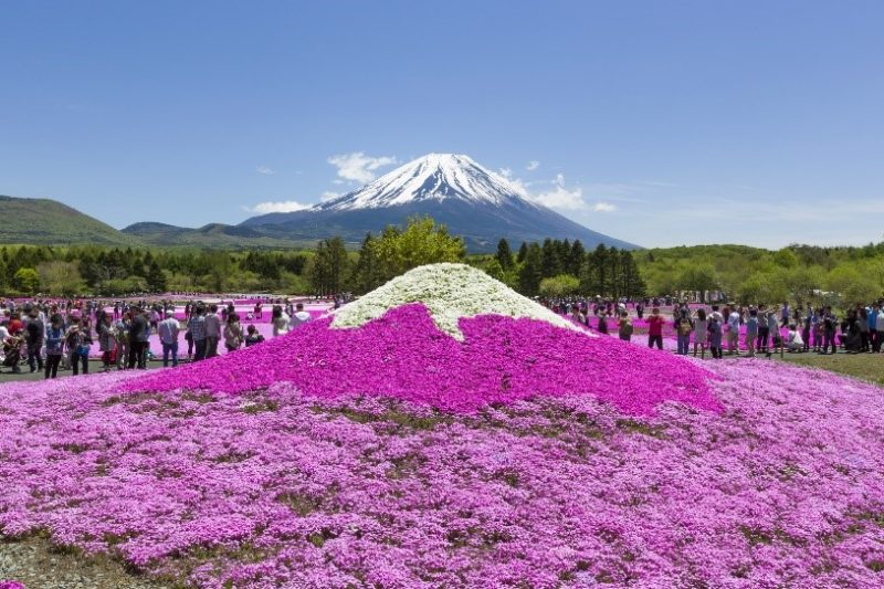 Take photos of a miniature Mt. Fuji made of shiba-sakura alongside the real thing