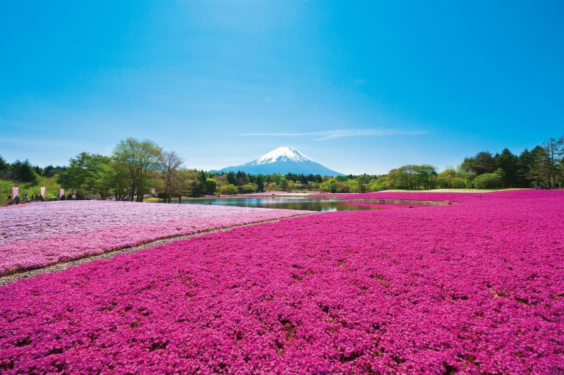 There are 8 varieties of shiba-sakura in bloom at Fuji Motosuko Resort. Enjoy the different colors!