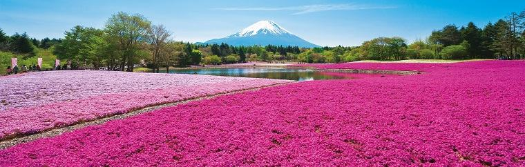 "Many of the travelers visiting Japan in the springtime are seeking out the beautiful pink blooms of cherry blossoms. This time we will be introducing shiba-sakura, or moss phlox, which spreads a carpet of pink blooms on the ground rather than on trees. The ""2019 Fuji Shiba-sakura Festival,"" where you'll be able to fully enjoy these beautiful flowers, will be taking place from April 13th (Saturday) until May 26th (Sunday), 2019, at Fuji Motosuko Resort (Minamitsuru-gun, Yamanashi Prefecture)."